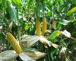 Adequate U.S. corn supply in 2013 expected to lower costs