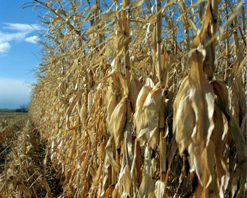 Corn harvesting in illinois