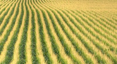 Washington State comes in at No. 1 for U.S. sweet corn farming
