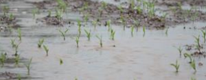 Soil erosion from spring rain could affect this year's corn crop