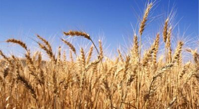 winter wheat life cycle