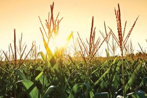 A wet and sun-depraved spring season has put Minnesota's corn crop behind schedule