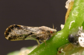 The psyllid pest causes citrus greening, a disease that kills orange tress