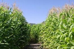 The Indiana corn crop is continuing to develop despite some damaging weather conditions across the state.