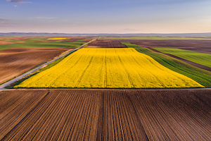 K-State experts have provided insights into the winter survival of canola crops in regards to planting schedules and weather conditions.