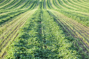 Once the alfalfa is high enough to use a sweep net, the experts recommend taking a sample to establish whether weevils are present.