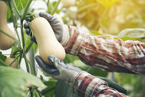 Once the squash has been harvested, the produce should be handled carefully to avoid cuts and bruises.