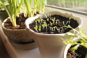 While January can be a cold and dreary month for many gardeners, the ability to start seeds indoors can make it a much more interesting time of year.
