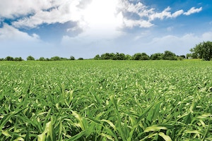 Fields should be evaluated every seven to 10 days, according to the experts, until plants reach the V5 stage.